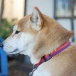 柴犬が天然記念物?日本犬と共に生き、守る取り組みからそのルーツを知る。