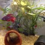 水槽に熱帯魚の新しい仲間。派手なカラーがトレードマークの闘魚ベタ、名前は新庄くん。