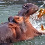 私の中で行ってみたい動物園No.1、北海道の旭山動物園~カバの泳ぐ姿を見たことありますか?