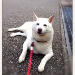お家もお散歩も大好き!神戸市西区の柴犬シロちゃん~ペットシッターの現場から