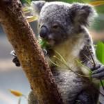 コアラのようにおんぶされるフクロモモンガのベビー~実はカンガルーと同じ種目なんです。