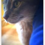 マッサージが得意な猫さん、神戸市北区のアビシニアンの男の子。ペットシッターワンコノの猫友さん、いらっしゃ~い。