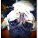 初対面でもすぐ友達になれる、超フレンドリーな垂水区のパグ犬マービー君~神戸のペットシッターワンコノの犬友さんいらっしゃ~い