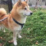 名前の通り元気いっぱい!神戸市西区の柴犬の元気くん~ペットシッターワンコノの犬友さんいらっしゃ~い