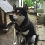 神戸で一番柴犬に好かれていると信じているペットシッター~神戸市西区のペットシッターワンコノの柴友さんいらっしゃ~い