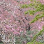 ゴールデンレトリバーのさくらちゃんと一緒に歩く、2回目の加古川桜路~ペットシッターワンコノの犬友さんいらっしゃ~い