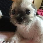 小さな体で最期まで頑張った、明石市のシーズーのベル君~神戸のペットシッターワンコノの犬友さん、ありがとう