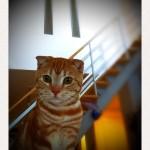 夏休みのお留守番、頑張ったニャ~神戸市西区のスコティッシュフォールドのチャロ君~ペットシッターワンコノの猫友さんいらっしゃ~い