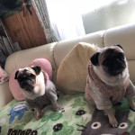いつも仲良しだワン。小野市のパグ犬、はチコちゃんと永遠ちゃん〜ペットシッターワンコノの犬友さんいらっしゃ〜い