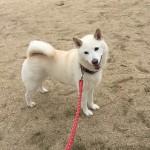 ボール遊びが大好きな神戸市西区の柴犬シロちゃん~ペットシッターワンコノの犬友さん、ありがとう