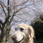 今年も加古川市のゴールデンレトリバーのさくらちゃんと一緒にお花見散歩。〜神戸市西区のペットシッターワンコノの犬友さん、いらっしゃ〜い。
