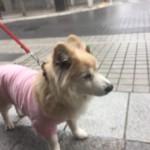 超ご長寿犬!加古川市のチャコちゃんの元気の秘訣は?~ペットシッターワンコノの犬友さんいらっしゃ~い