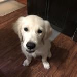 かわいさ金メダル級の神戸市西区のゴールデンレトリバーのユズル君〜ペットシッターワンコノの犬友さんいらっしゃ〜い