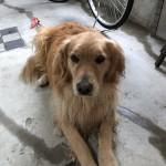 2019年、飛躍の年にしたいとの願いをこめて。鳥の鳴き声に合わせて元気に飛び跳ねるゴールデンレトリバーちゃんの動画。〜神戸市西区のペットシッターワンコノの犬友さんいらっしゃ〜い
