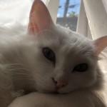 神秘的な瞳の持ち主、神戸市西区のオッドアイの白猫くん~ペットシッターワンコノの猫友さんいらっしゃ~い