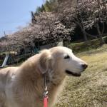 ゴールデン・レトリバーさくらちゃんの笑顔はみんなの癒しでした〜神戸市西区ペットシッターワンコノの犬友さんありがとう。