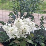 白いアジサイと黒いスコッチテリアのおはなし~ペットシッターワンコノ所長レオの樹木葬