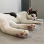 いつも一緒♪仲良し兄弟猫くんたちと全力で遊んでみました。~神戸市西区キャットシッターワンコノの猫友さんいらっしゃ~い