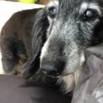 まだまだ元気♪ご長寿なミニチュア・ダックスフント君~神戸市西区ペットシッターワンコノの犬友さんいらっしゃ~い