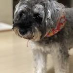 少し長いお留守番を頑張っているミニチュア・シュナウザー君〜神戸市西区ペットシッターワンコノの犬友さんいらっしゃ〜い